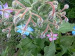 borage, look at all of the gorgeous colors