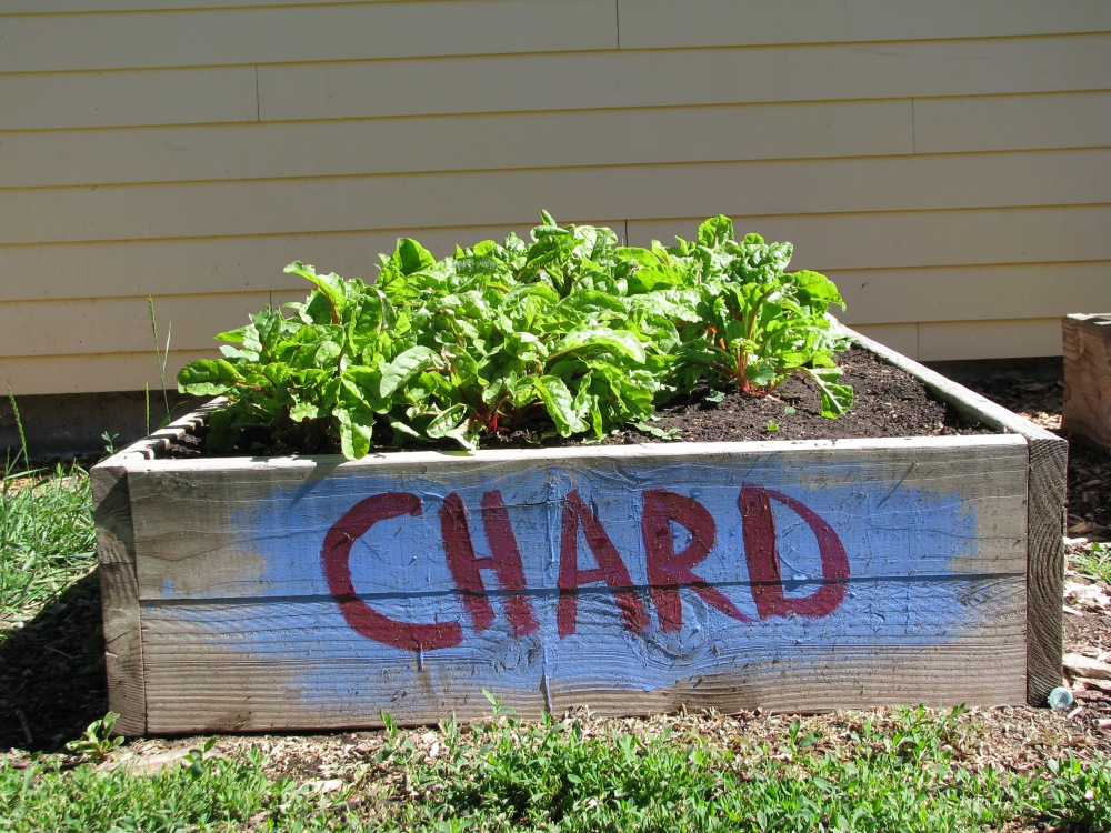 baby chard makes the most awesoem salads