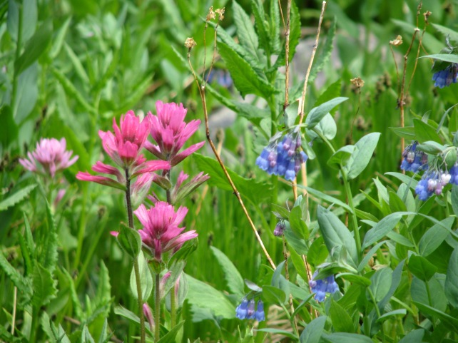 indian paintbrush and more