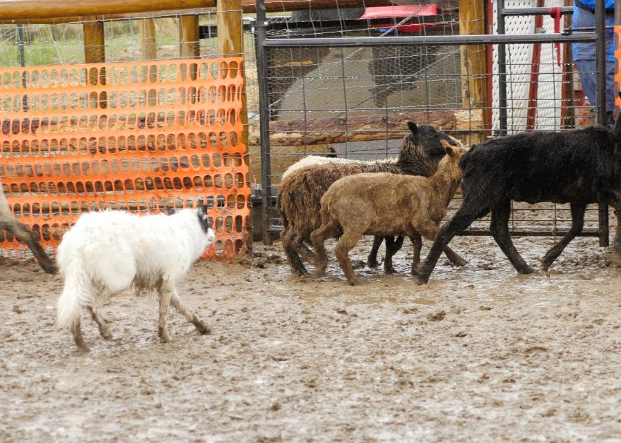 herding 001
