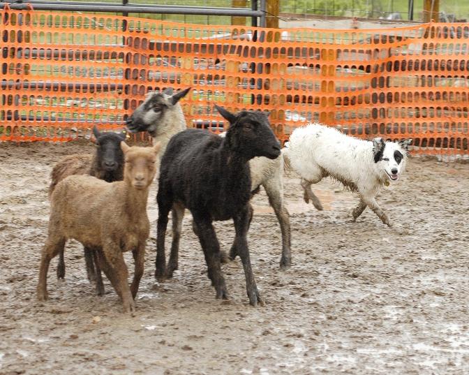 herding 002