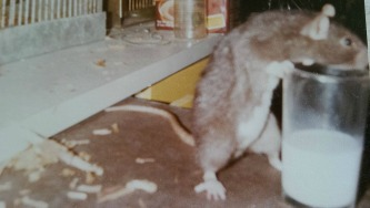 My first of 200+ rats, Tony. He was amazing